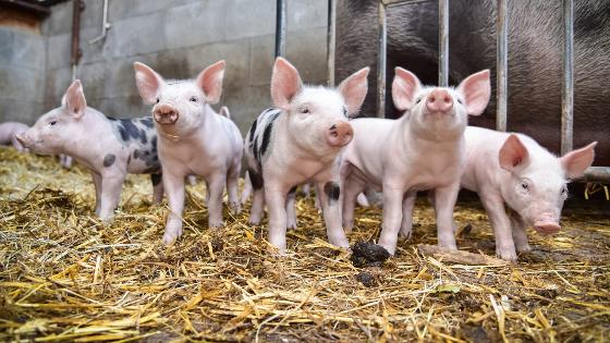 five piglets in the barn with straw