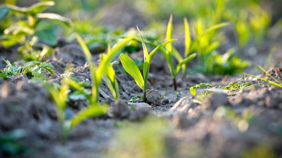 A close-up shot of young cereal plants on the field