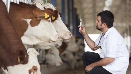 A vetinary prepares an injection in the cowshed