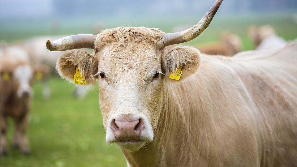 cow with horn