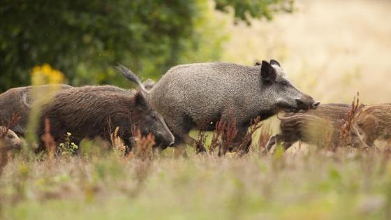 A horde of wild boars of different age