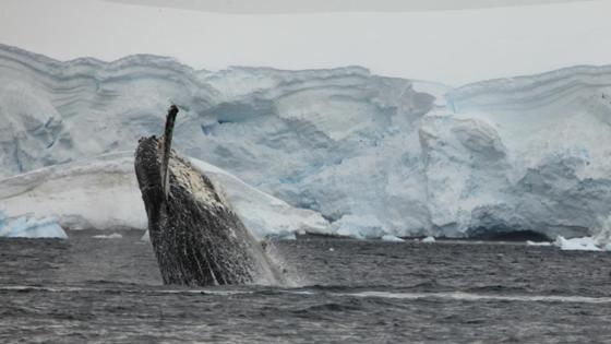 Emerging whale in front of an iceberg