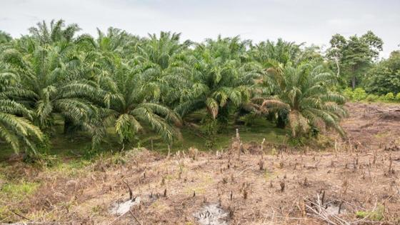 Palm oil plantation partly cleared
