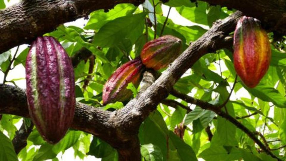 Cocoa tree with cacao fruits