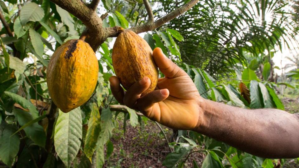 A man's hand reaps a cocoa fruit